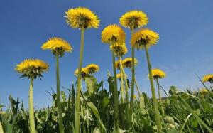 Dandelion flower group against a blue sky.